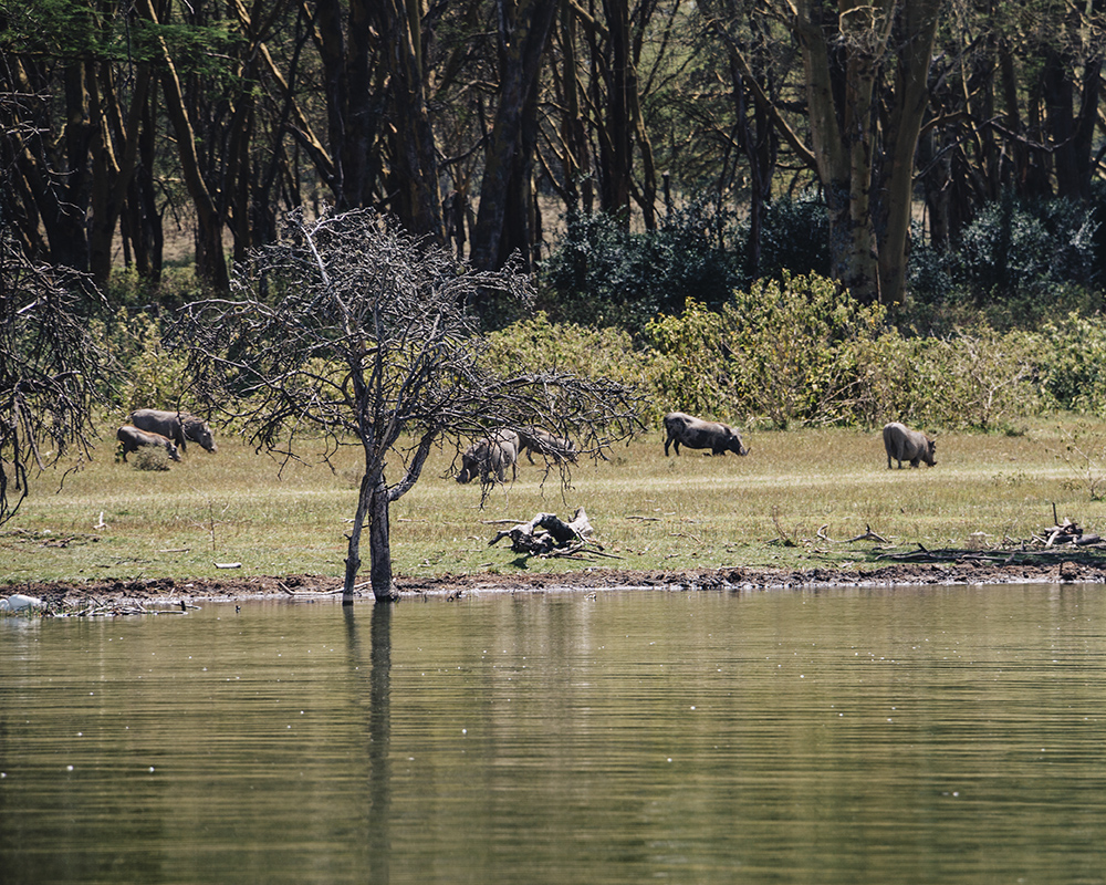 lake-naivasha-wildlife-boars