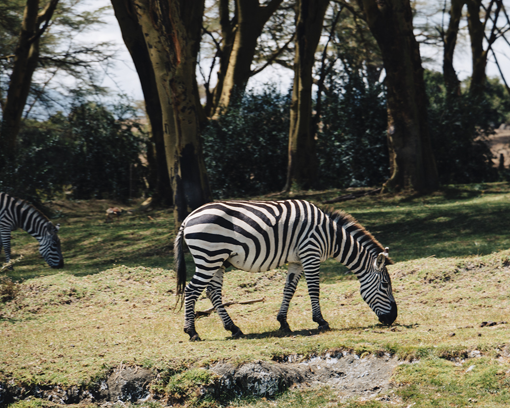 lake-naivasha-wildlife-zebra