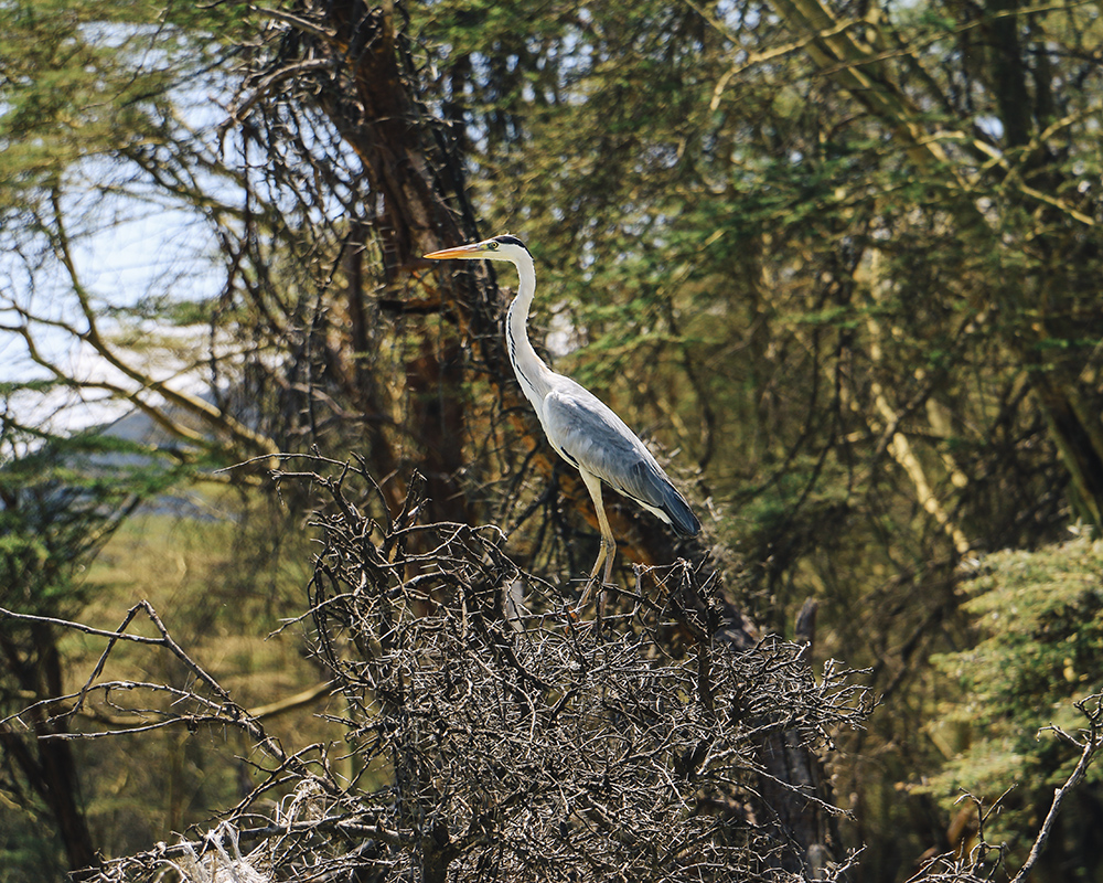 lake-naivasha-wildlife-bird