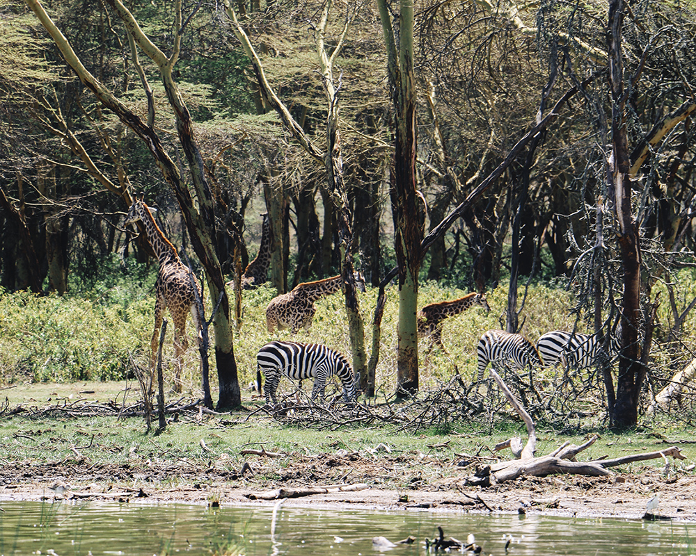 lake-naivasha-wildlife-zebra-giraffe