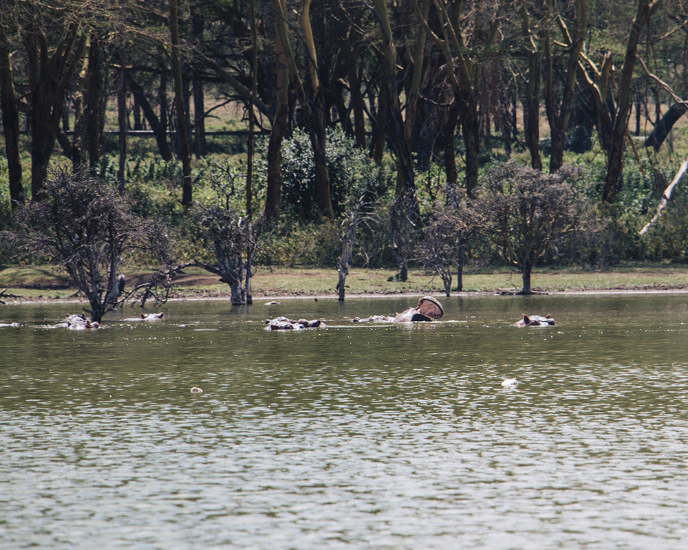 lake-naivasha-wildlife-hippos-family
